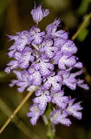 Orchis tridentata Scop. | Flora of Israel Online