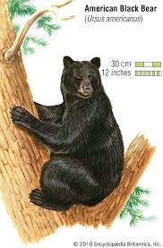 <b>black bear</b> | Description, Size, Habitat, Diet, & Facts | Britannica