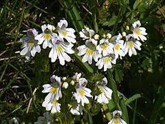 Eufrasia alpina [Euphrasia alpina]