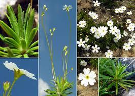 Androsace lactea L. - Portale sulla flora del Parco Naturale delle ...