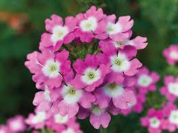 Verbenaceae | plant family | Britannica