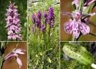 dactylorhiza maculata fuchsii