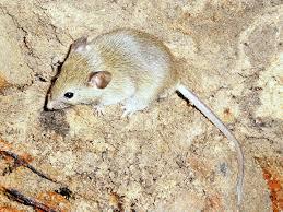 <b>Домовая</b> мышь — Википедия