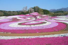 「羊山公園 芝桜 画像」の画像検索結果
