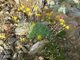 Artemisia glacialis — Wikipédia
