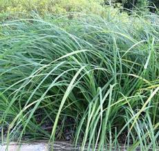 Image result for creek sedge
