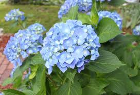 Image result for hydrangea in winter