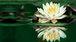 Resultado de imagen para loto flor