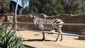 San Diego Zoo   Viator Photo of San Diego San Diego Zoo Zebras