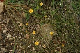 Chondrilla juncea - Michigan Flora