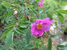 La Rosa pendulina | Italian Botanical Trips