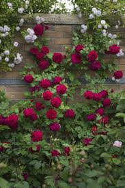 best ideas about tess d urberville knitting david austin rose tess of the d urbervilles