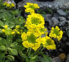 Alyssum wulfenianum – Wikipedia