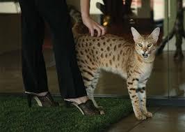 Resultado de imagen para gatos savannah