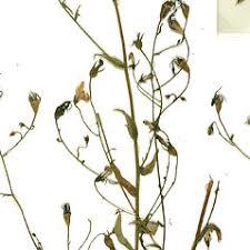Campanula patula (spreading bellflower): Go Botany