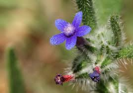 Hormuzakia aggregata (Lehm.) Gusuleac | Flora of Israel Online
