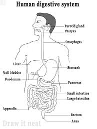 labeled human digestive system diagram   aof comgallery of labeled human digestive system diagram