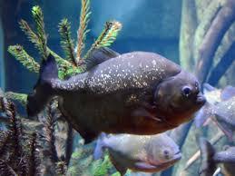 Pygocentrus piraya