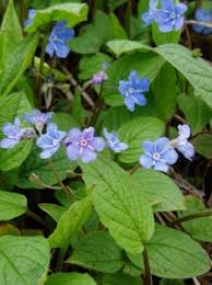 March 2009 Plant Profile: Omphalodes verna