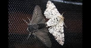 How a moth went to the dark side | Science News for Students