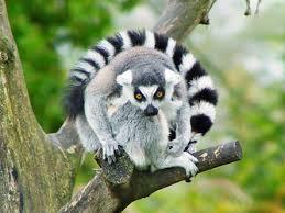 lemur க்கான பட முடிவு