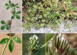 Trifolium scabrum L. - Sistema informativo sulla flora vascolare dei ...
