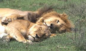 Image result for images pride of lions sleeping after eating  a kill