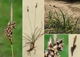 Carex ericetorum Pollich - Portale alla flora del Parco Nazionale ...