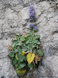 Campanula elatinoides - Wikipedia