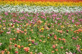 The <b>Flower Fields</b> - Wikipedia