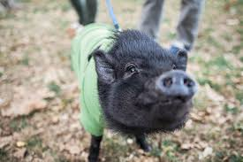 Keeping Pot-Bellied <b>Pigs</b> as Pets