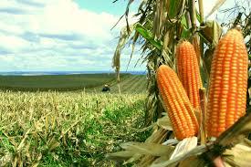 Resultado de imagem para produção de milho no brasil