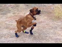 Funny <b>Dogs</b> in <b>Boots</b> for the First Time Compilation - YouTube