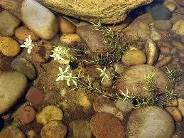 Callitriche palustris - Michigan Flora