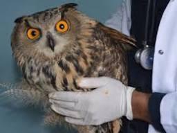 Bayburt'ta bitkin halde bulunan puhu kuşu tedavi edilecek