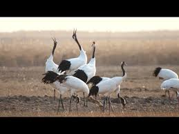 Over 500 <b>Red</b>-<b>crowned Cranes</b> Arrive in East <b>China</b> Wetlands for ...