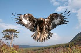 Image result for north american golden eagle
