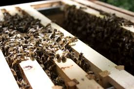 rain mrs apis mellifera drones carry the characteristics of their hives to other colonies through mating the local queens emily and me have good natured hard working bees