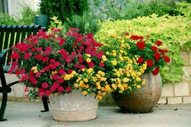 short essay on plants flowering plants the geranium   flowering plant