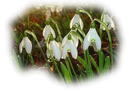 "Résultat de recherche d'images pour ""gif de fleurs perce neige"""