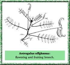 Astragalus in Flora of Pakistan @ efloras.org