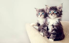 cute cats =) Images?q=tbn:ANd9GcRTiDoqGeyUOZHvbliw3mCK3OurNFJwhXgn75tHIOL1qjMmdVni