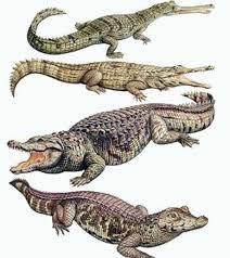 Resultado de imagem para foto de crocodilos