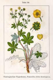 Potentilla thuringiaca - Wikipedia