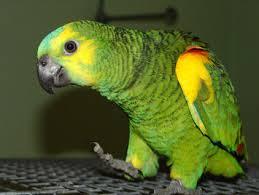 """Résultat de recherche d'images pour """"perroquet"""""""