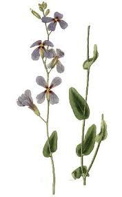 Moricandia arvensis - Wikipedia, la enciclopedia libre
