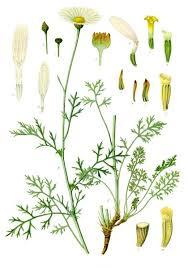 Tanacetum cinerariifolium - Wikipedia