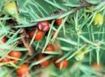 red juniper