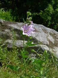 Tree Lavatera, Lavatera thuringiaca - Flowers - NatureGate