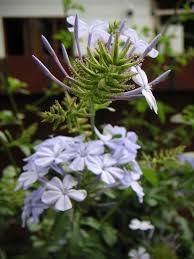 Plumbaginaceae - Wikipedia